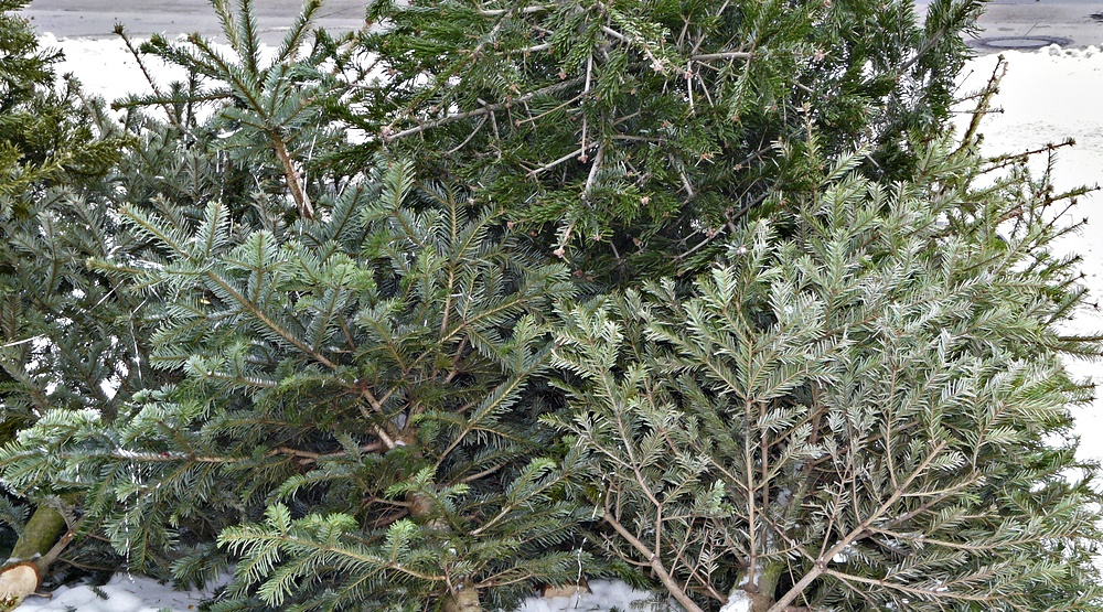 Here is the collection schedule for Christmas trees in Montreal