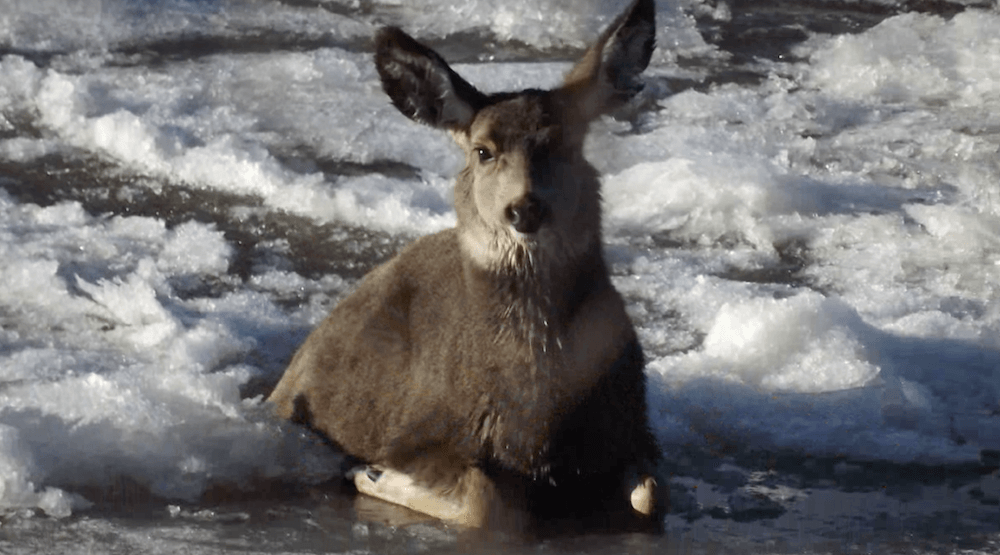 Group of Albertans rescue deer trapped in a frozen river (VIDEO)