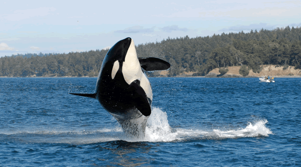 World's oldest killer whale dies near BC coast