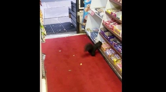 Squirrel caught stealing chocolate bar from Toronto convenience store (VIDEO)