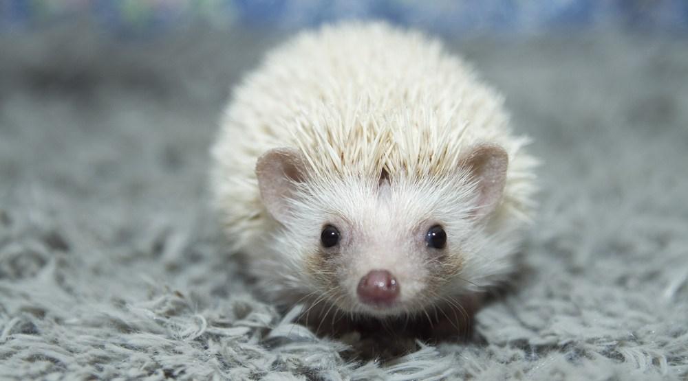Baby hedgehog shutterstock