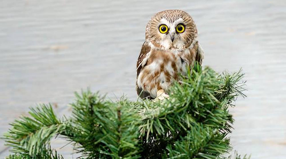 Alberta Institute for Wildlife Conservation needs your used Christmas trees
