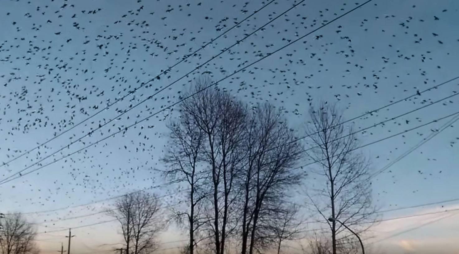 Crows flying over Burnaby (mellalune/YouTube)