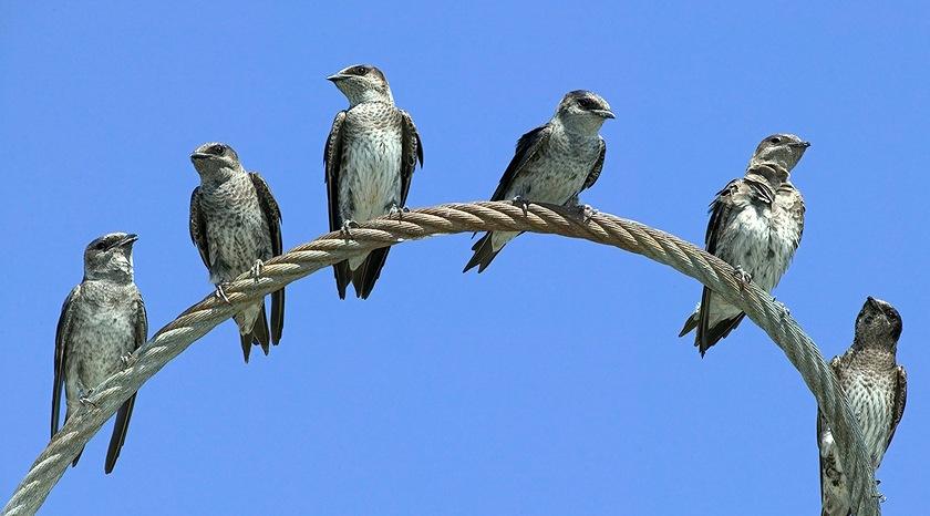 Purple Martins at the Maplewood Flats (John Lowman/Wild Bird trust of BC)