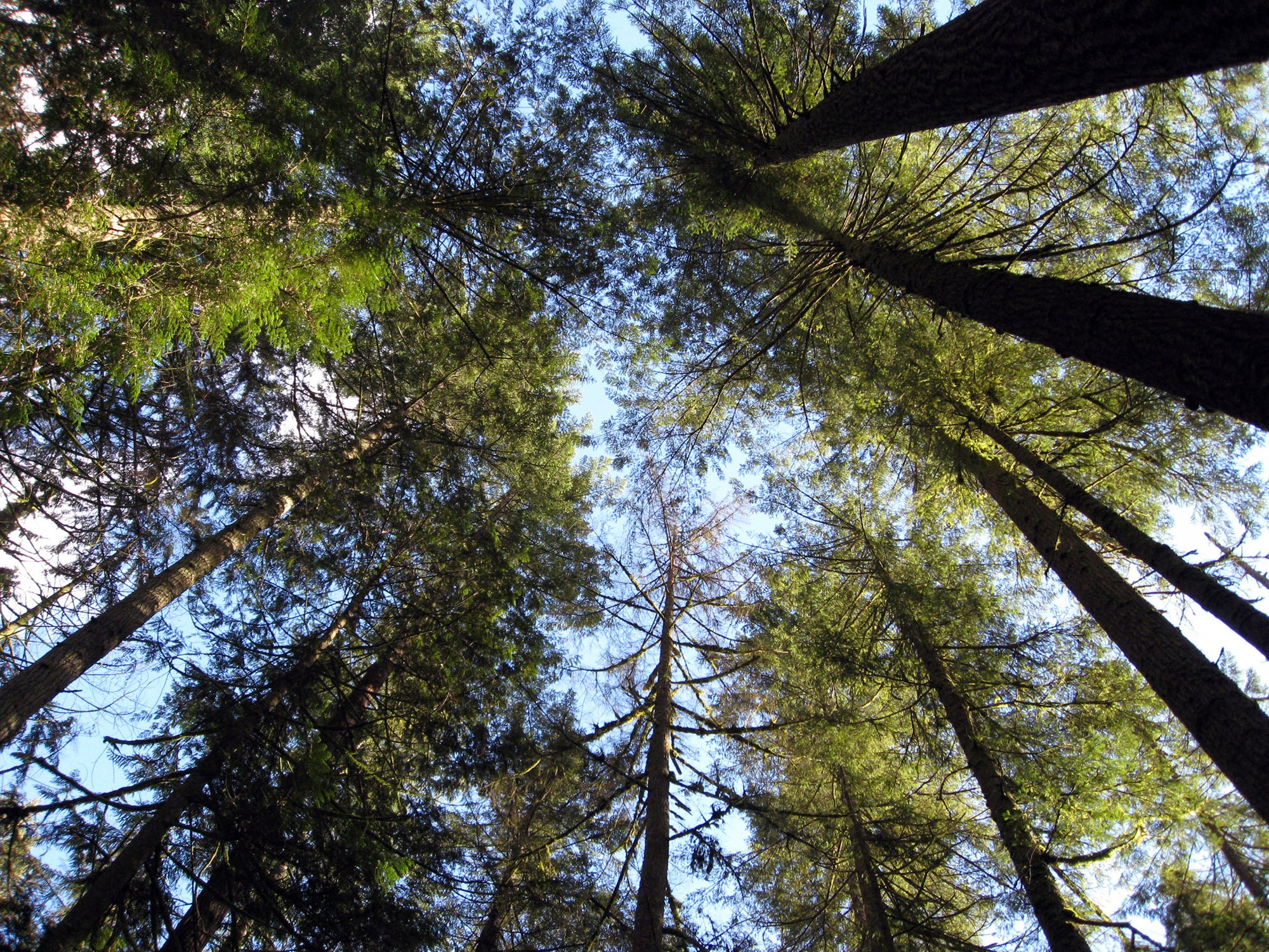 Trees in Capilano Canyon (Ruth Hartnup/Flickr)