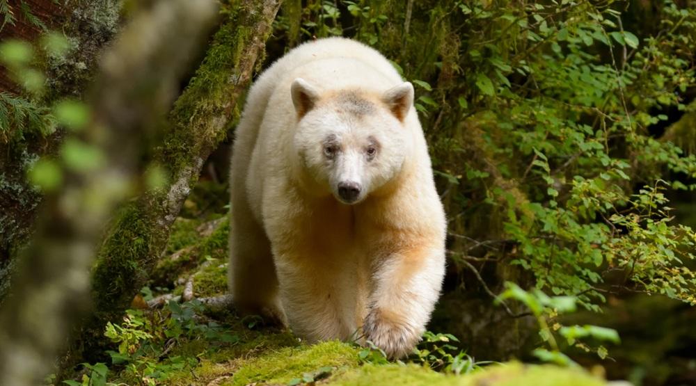 Kermode bear shutterstock feature