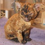 Slip, one of the kittens burned in the house fire (BC SPCA)