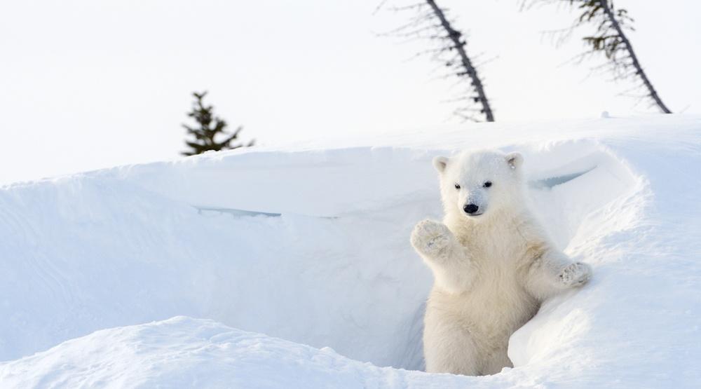 Celebrate International Polar Bear Day at the Toronto Zoo in February