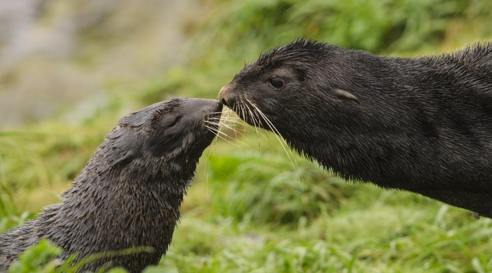 Northern fur seals in the wild (Luiz Kagiyama/Shutterstock)
