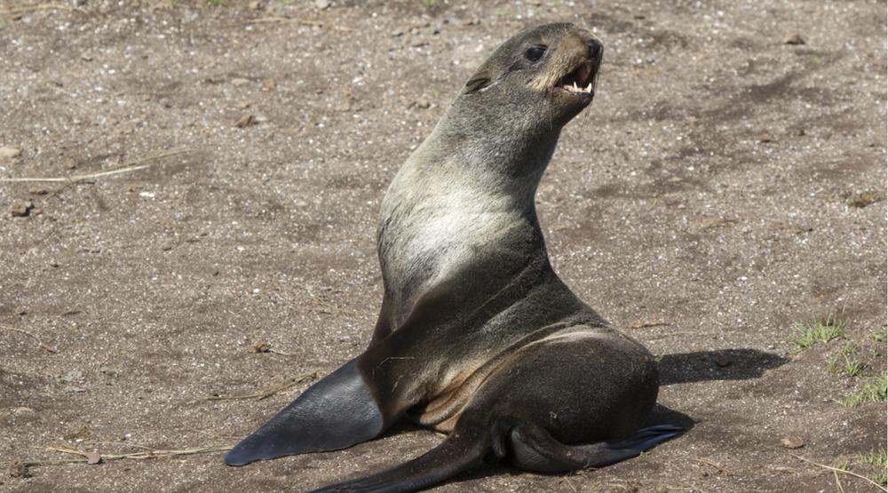 Northern fur seal in the wild (Dmytro Pylypenko/Shutterstock)