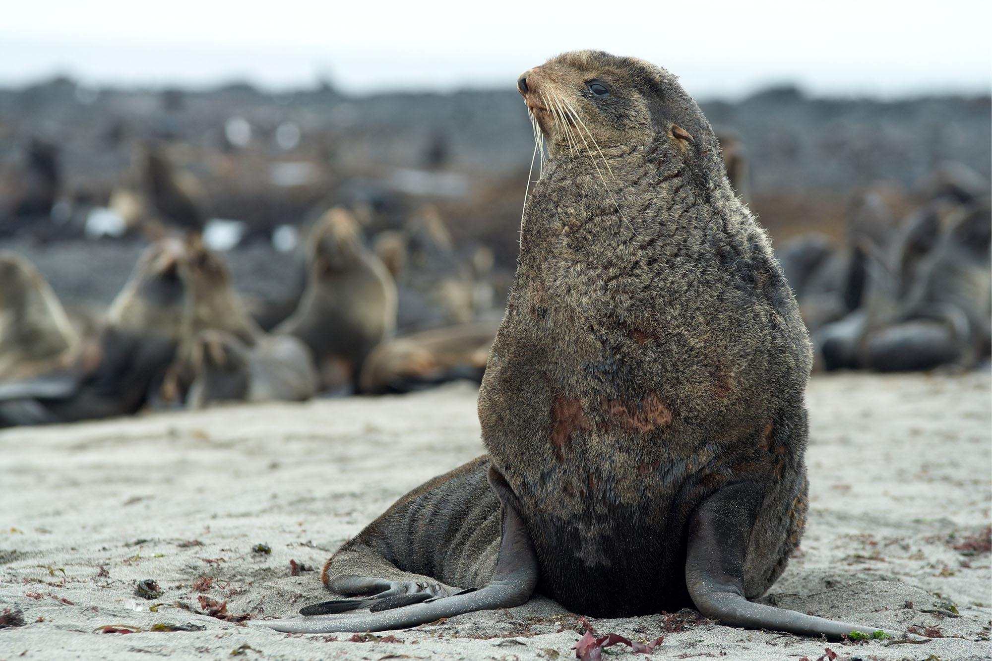 Northern fur seal in the wild (DPS/Shutterstock)