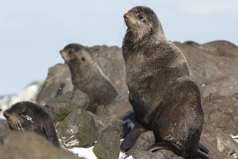Northern fur seal (Dmytro Pylypenko/Shutterstock)