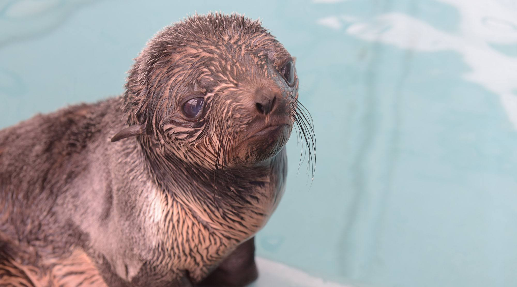The northern fur seal pup recovering at vancouver aquarium marine mammal rescue centre vancouver aquarium