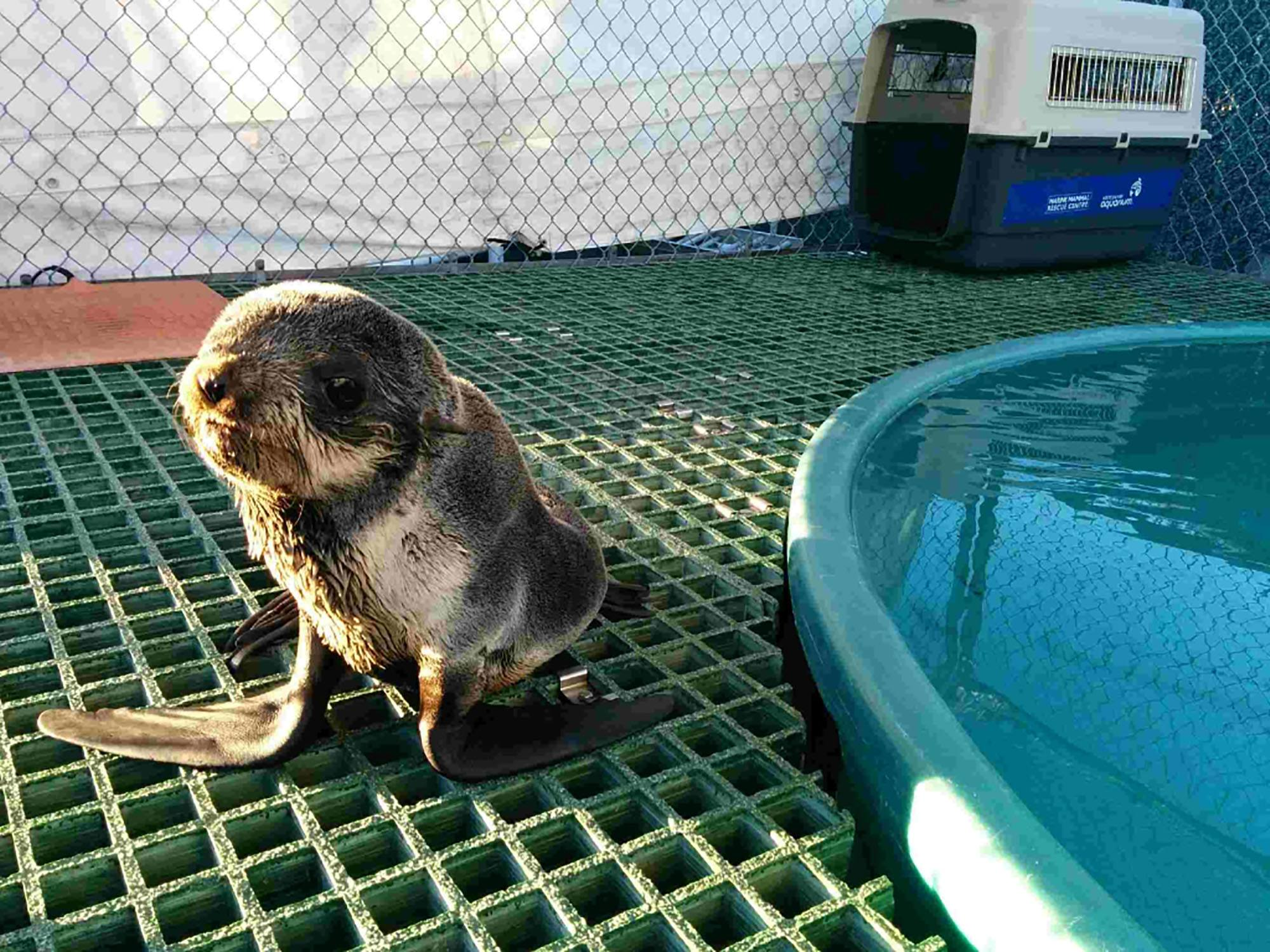 The northern fur seal pup recovering at Vancouver Aquarium Marine Mammal Rescue Centre (Vancouver Aquarium)