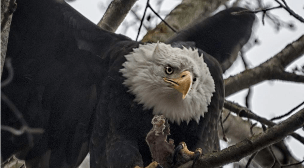 Birdwatcher's delight: Hundreds of eagles gather on South Delta farm