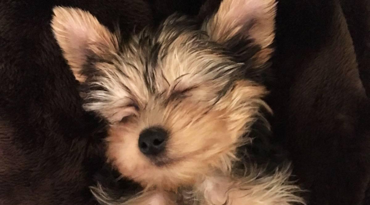 Ben the puppy sleeping barbara siquiera copy