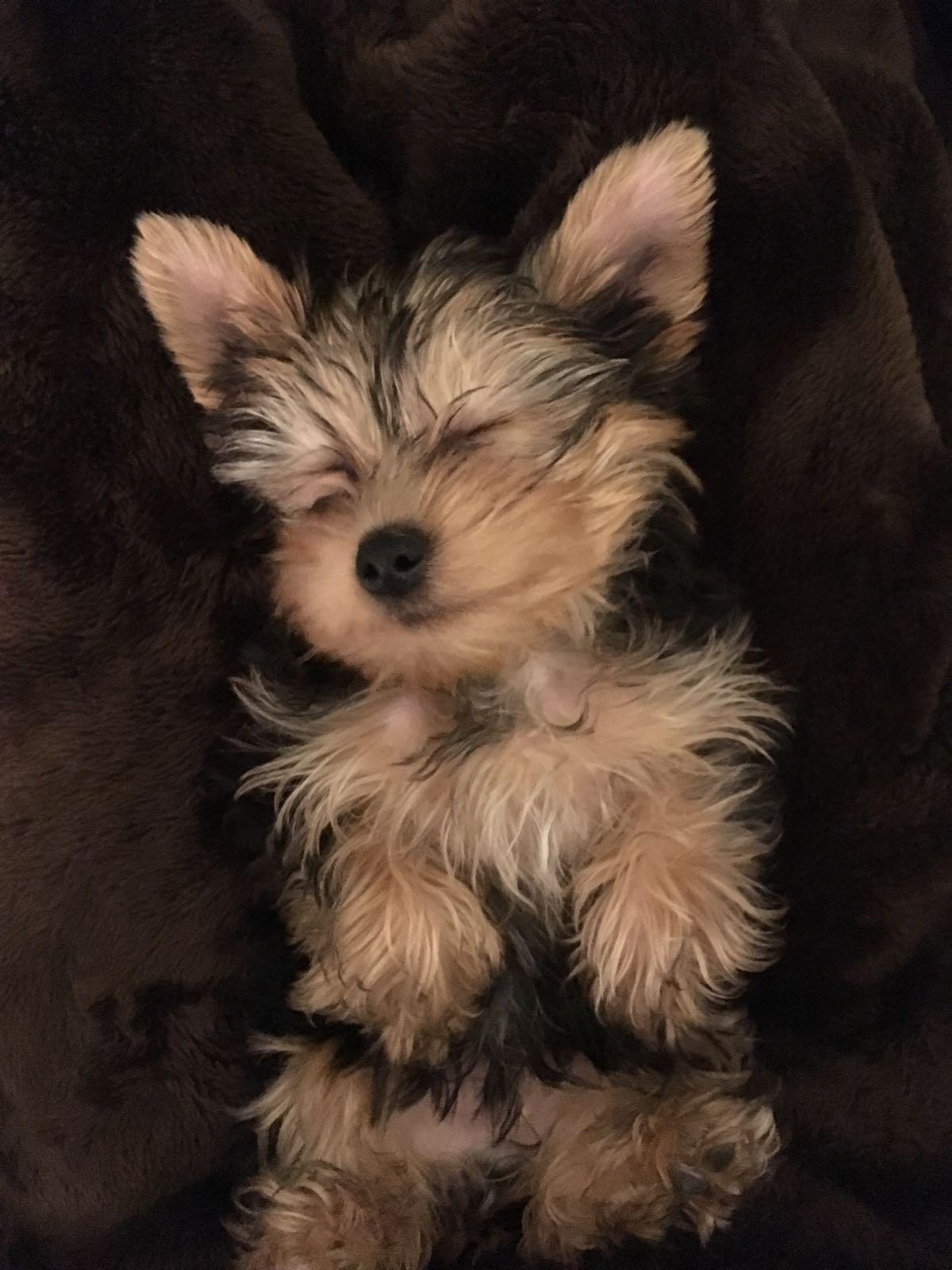 Ben the puppy sleeping (Barbara Siquiera)