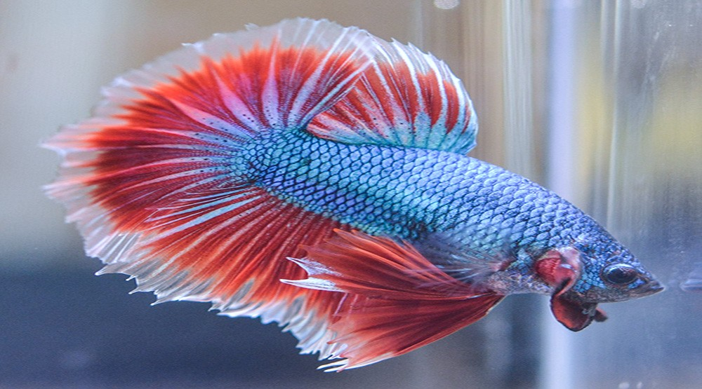 5 first time pet recommendations to help ease you into for Betta fish temp