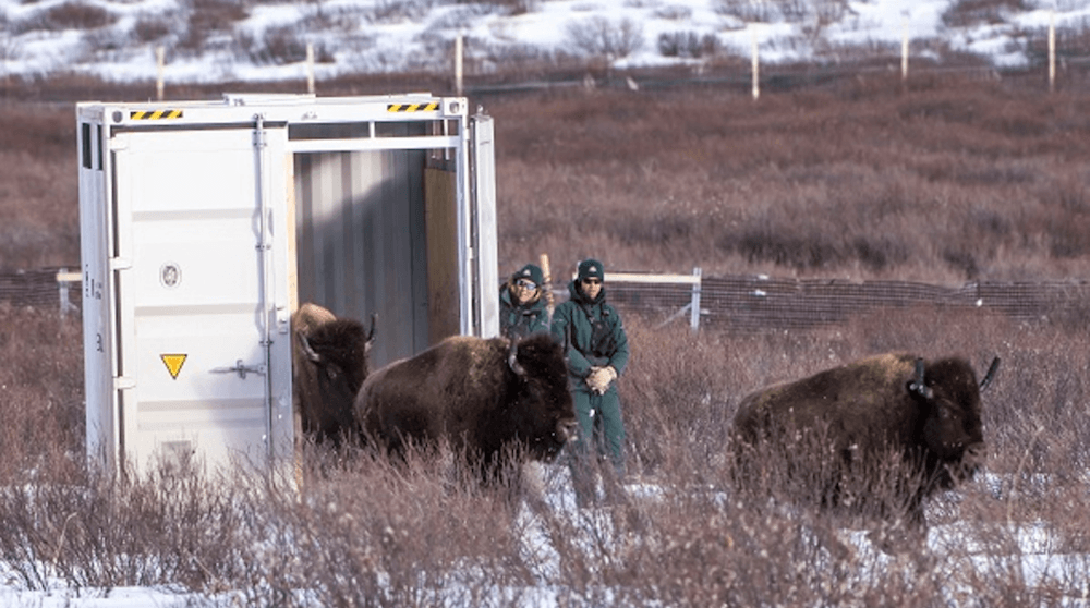 Bison have officially returned to Banff National Park after 100 years