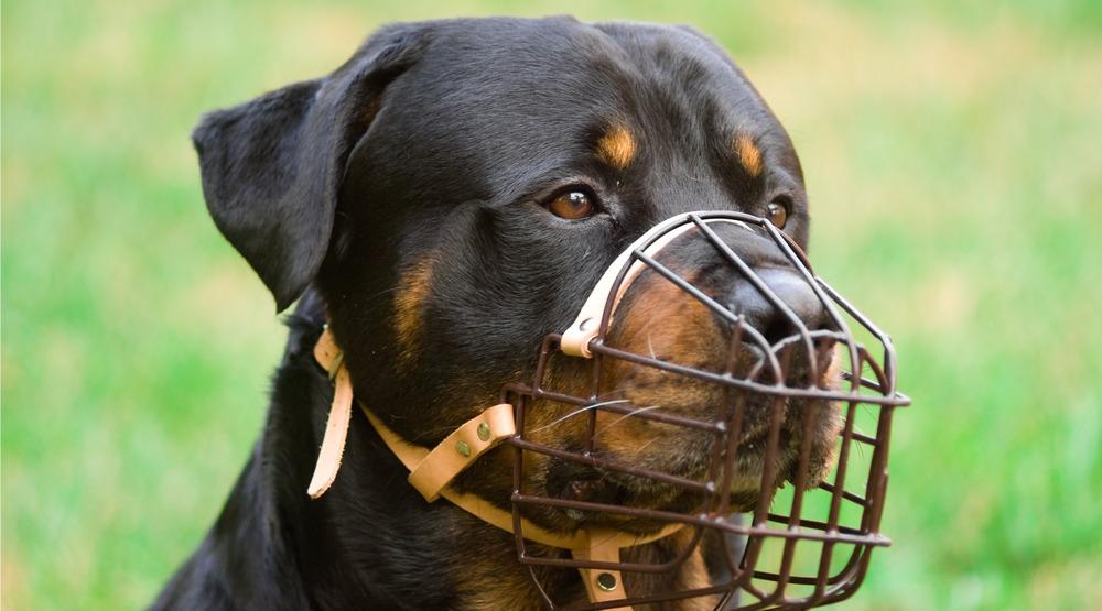 Muzzled rottweiler dog shutterstock