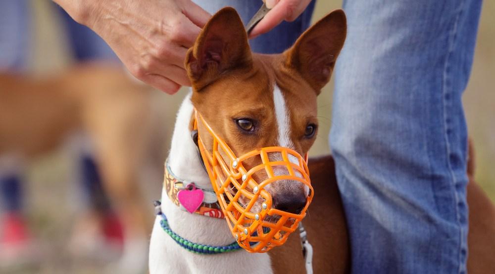 Basenji dog in a muzzle (krushelss/Shutterstock)