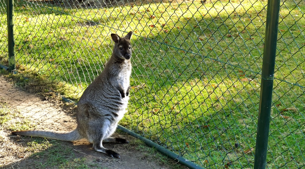 Wandering wallaby found safe in Langley