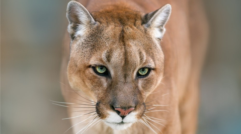 Cougar sighted in Coquitlam as snowfall brings big cat to town