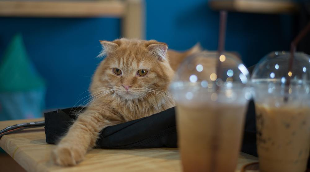 Calgary's first cat cafe is opening in late spring