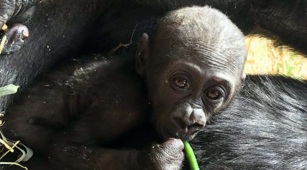 Calgary Zoo celebrates baby gorilla Kimani's 1st Birthday