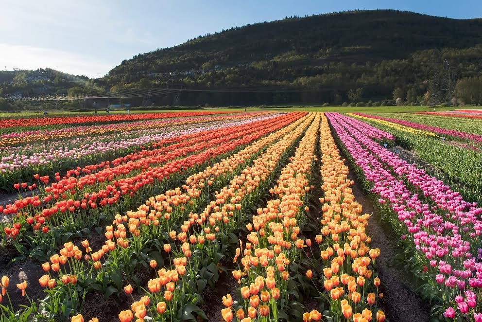 The Abbotsford Tulip Festival returns in full bloom for 2017