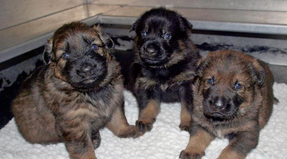 The RCMP need your help naming their puppies