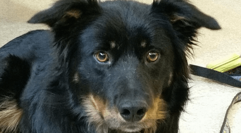 This dog was shot in the leg and needs a loving home after surgery