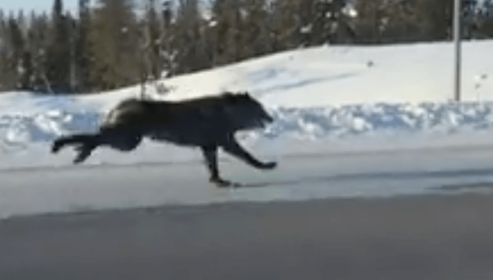 Wolves run alongside motorist in North West Territories (VIDEO)