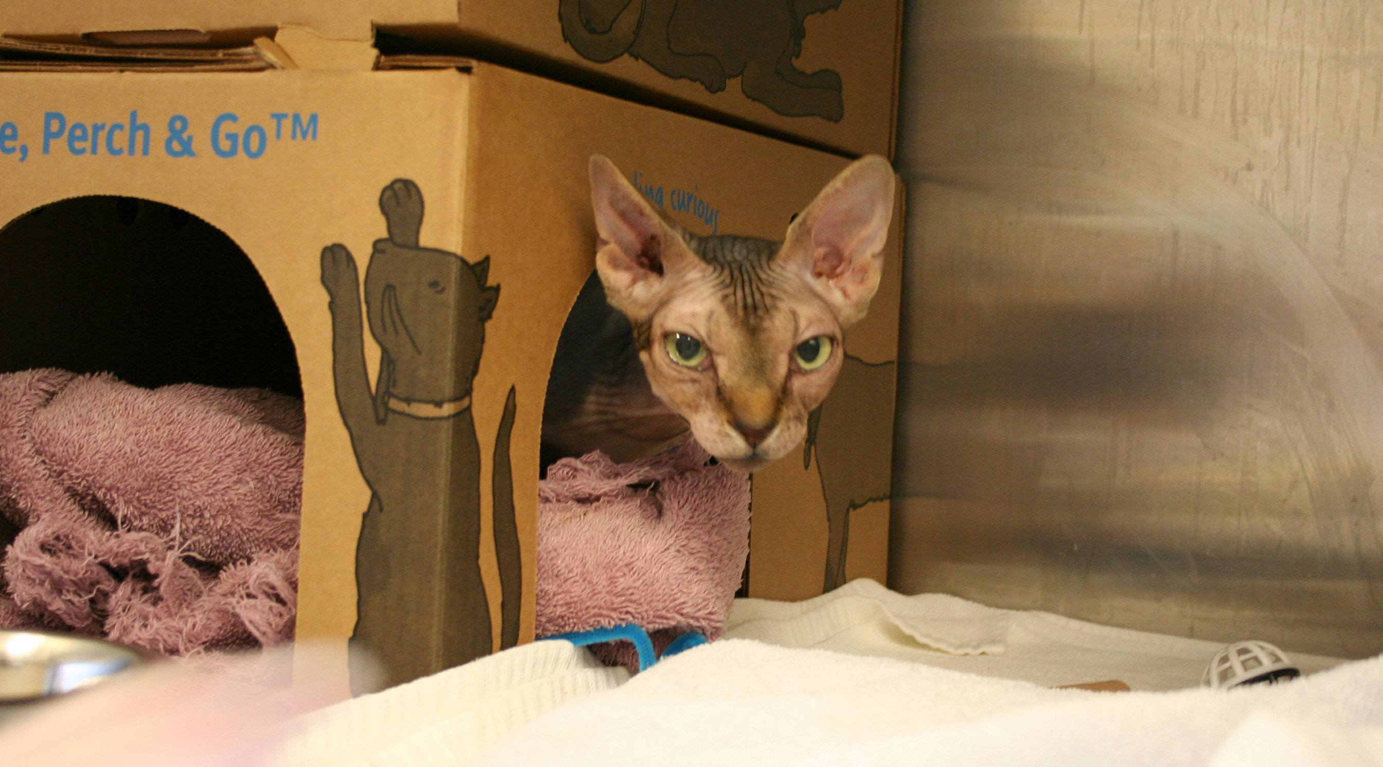 A hairless cat seized from Sandra Simans in Langley (SPCA)