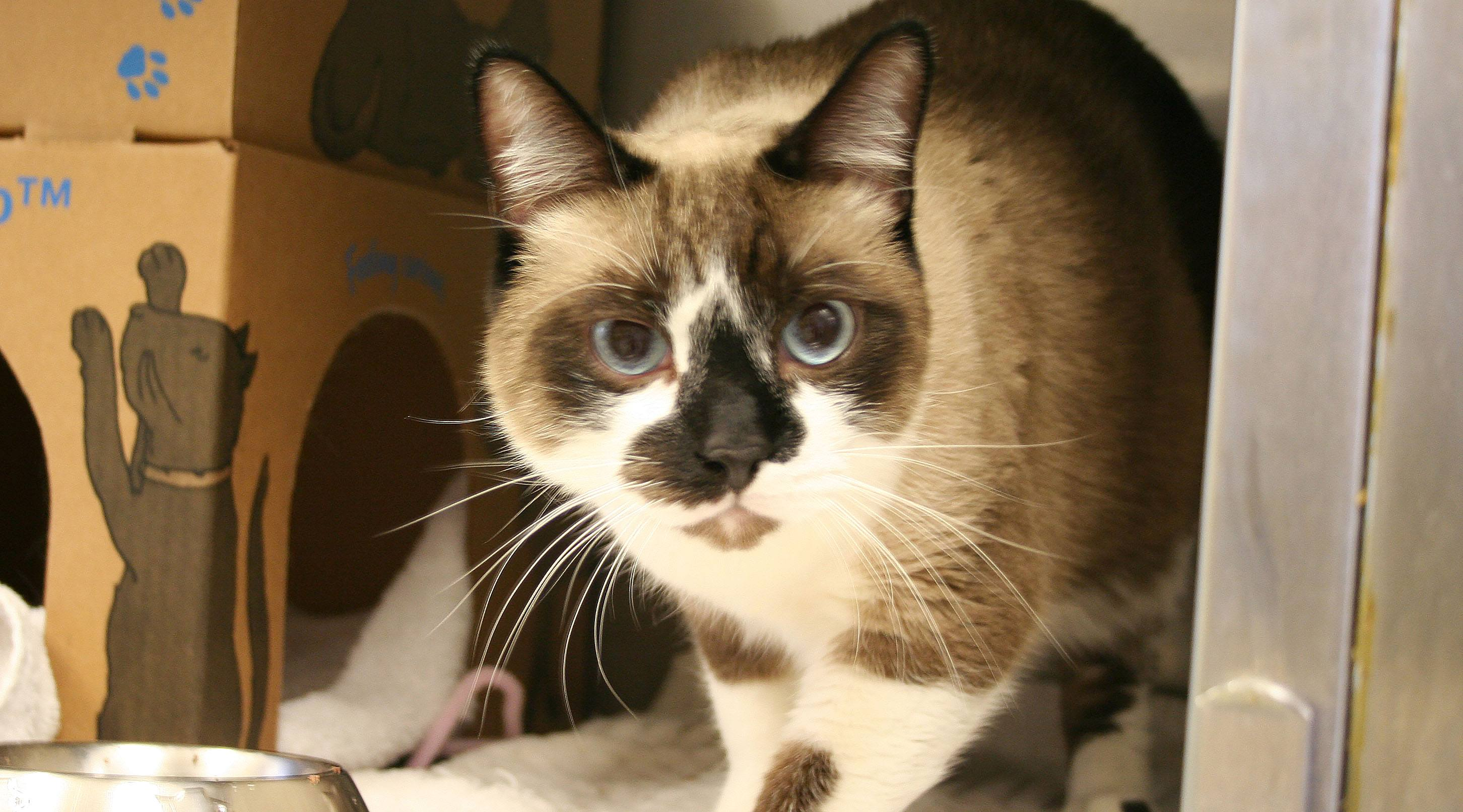 A siamese mix cat seized from sandra simans in langley spca