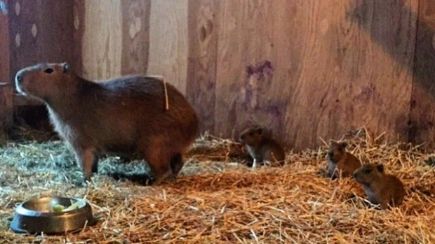 Toronto's 'Bonnie and Clyde' capybaras give birth to triplets at High Park