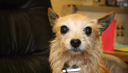 <a href=http://adopt.spca.bc.ca/?utm_source=homepage&utm_medium=small-banner&utm_campaign=adopt>MYA the Yorkshire Terrier (BCSPCA )</a>