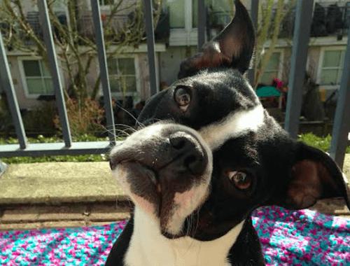 Oskar is an energetic Boston Terrier (Image: Melissa Franz)
