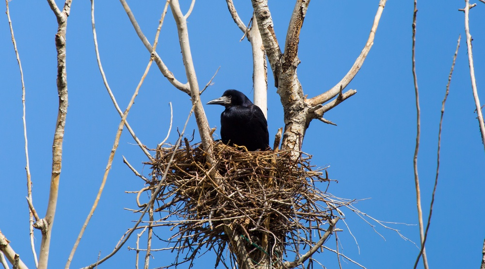 crow sitting in nest in tree