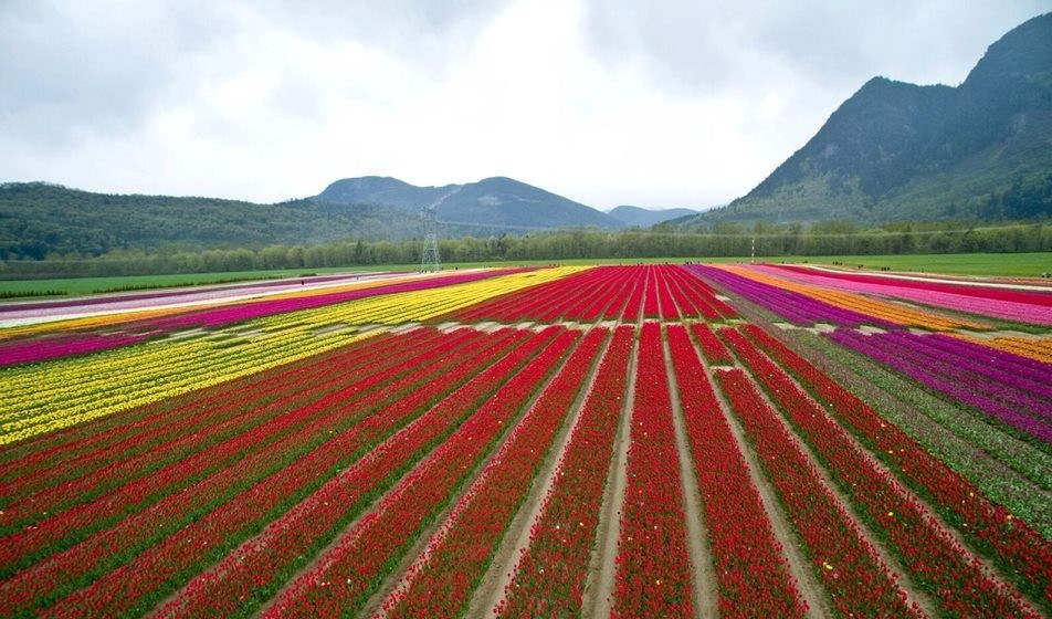 Tulip field at Tulip of the Valley Festival