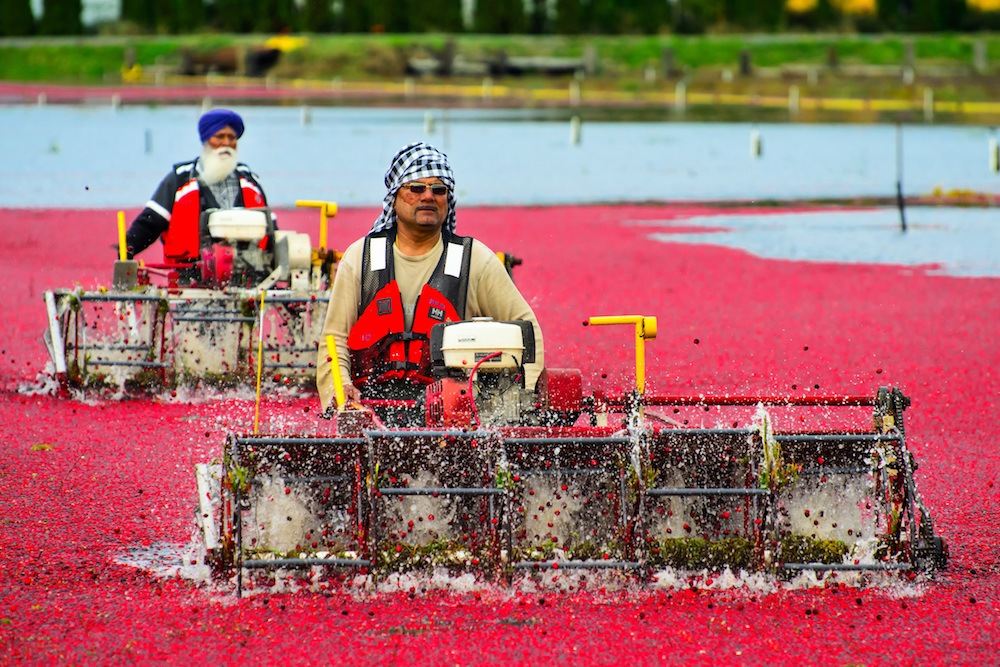 Cranberry farmers in Richmond, BC (Anton Bielousov/Shutterstock)