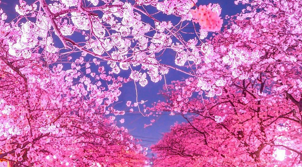 6 Places To Find Cherry Blossom Trees In Montreal Curated