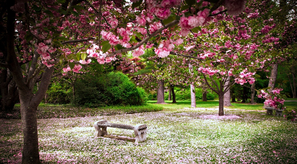 A magical cherry blossom tree picnic is happening in Montreal