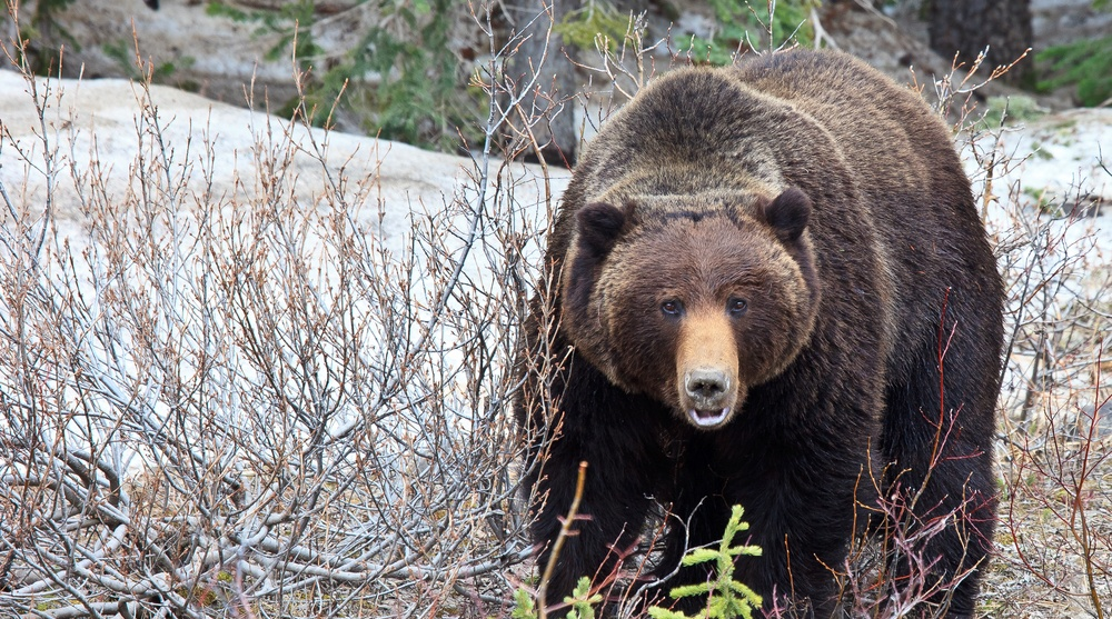 Alberta Parks officials close campground in Kananaskis due to Grizzly bear activity