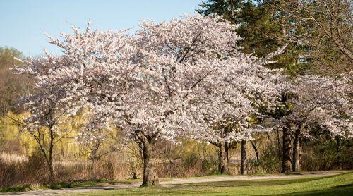 Cherry Blossoms High Park Toronto