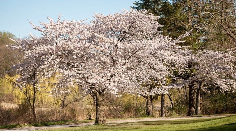 High Park reopens to the public as cherry blossom bloom period ends