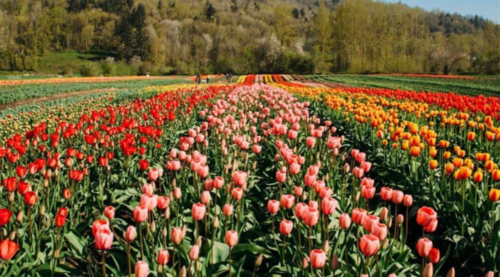 Abbotsford tulip festival 2017