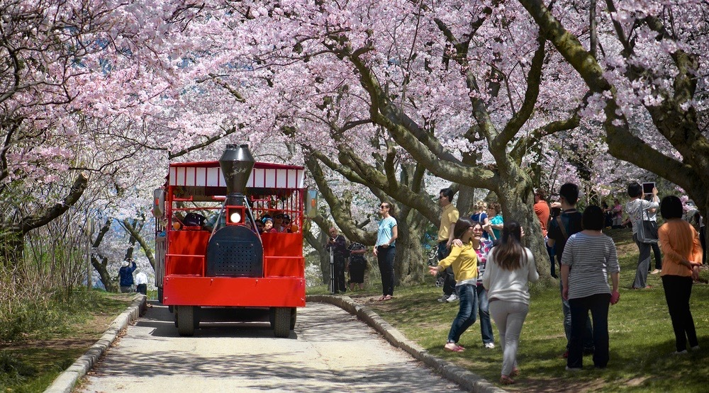 "High Park cherry blossoms are now officially in ""peak bloom"""