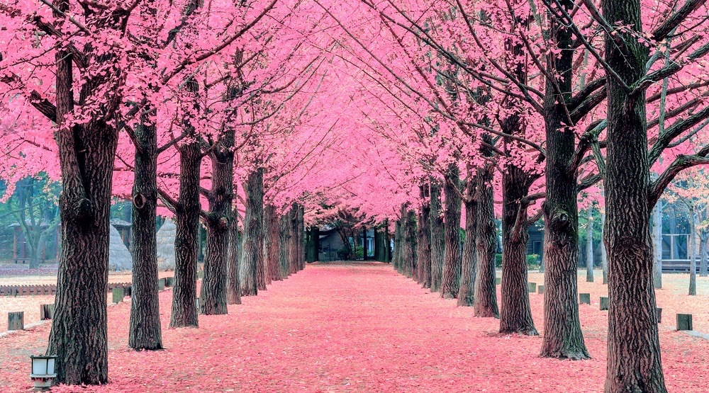 cherry blossom tree tunnel