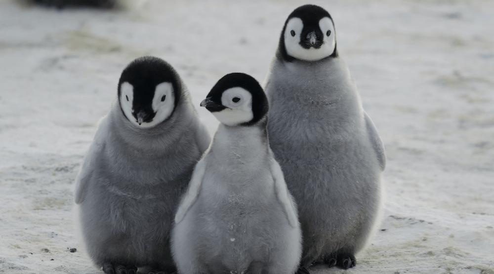 Celebrate World Penguin Day with the Vancouver Aquarium